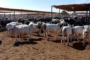 استغاثة من مربو الماشية للزراعة بسبب تراجع الأسعار
